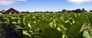 El cultivo del tabaco en el centro del debate científico