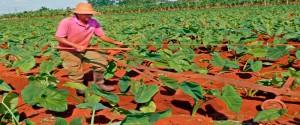 Camagüeyanos apuestan por el mejoramiento de los suelos