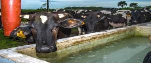 Cuba aspira a recuperar la ganadería bovina
