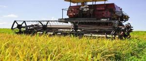 Este año la producción total de arroz consumo en el país llegará a las 162 965 toneladas, a pesar de las dificultades y limitaciones materiales. Foto: Carlos Cánovas