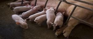 """Cría de cerdos en la finca """"Los Sementales"""", en el municipio Candelaria, Artemisa. Foto: Irene Pérez/ Cubadebate."""