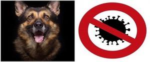¿Los perros entrenados pueden detectar el nuevo coronavirus con el olfato?