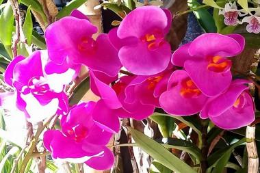 Orquídeas híbridas cubanas