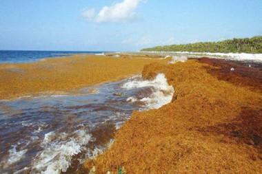 Invasión de sargazos en la península de Guanahacabibes