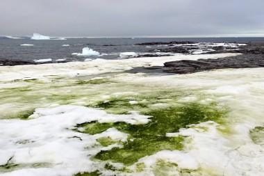 Algas verdes en la nieve cerca de una estación de invertigación en Rothera Point en la isla Adelaida (Antártida). Foto:Matthew Davey / University of Cambridge.