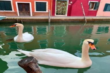 Tras la prolongada cuarentena por la COVID-19, a los lagos de Venecia han regresado los cisnes, peces y delfines, debido al abrupto cese de la actividad humana depredadora en sus aguas. Foto: Venezia Pulita