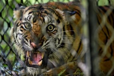 Una hembra de tigre de Sumatra dentro de una jaula antes de ser liberada a la naturaleza en el bosque de ecosistema de Leuser en la provincia de Aceh, Indonesia, el 19 de junio de 2020. /Foto: Chaideer Mahyuddin