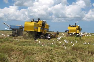 Solo con la introducción de variedades de semillas certificadas, el complejo arrocero camagüeyano incrementó los rendimientos agrícolas de 2 a 4,3 toneladas por hectárea. Foto: Miguel Febles Hernández